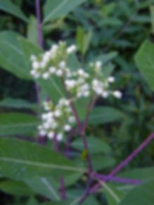 dogbane-Native Plant Nursery LLC, native