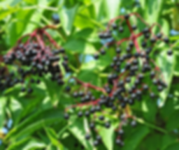 elderberries.png