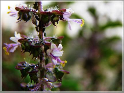 Tulsi flowers.jpg