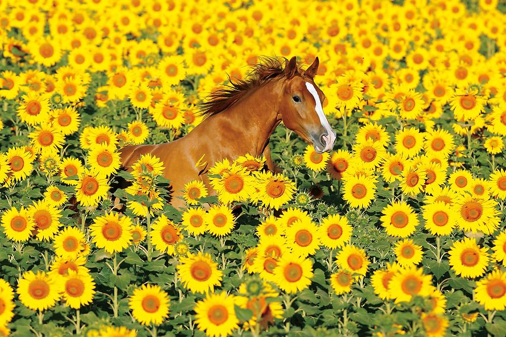 Fototipp Pferd im Sonnenblumenfeld