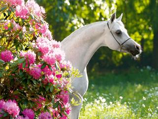 Araberhengst vor der Rhododendron Hecke des Gestüts Ismer