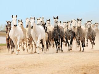 Bildergalerie Pferde der Iberischen Halbinsel