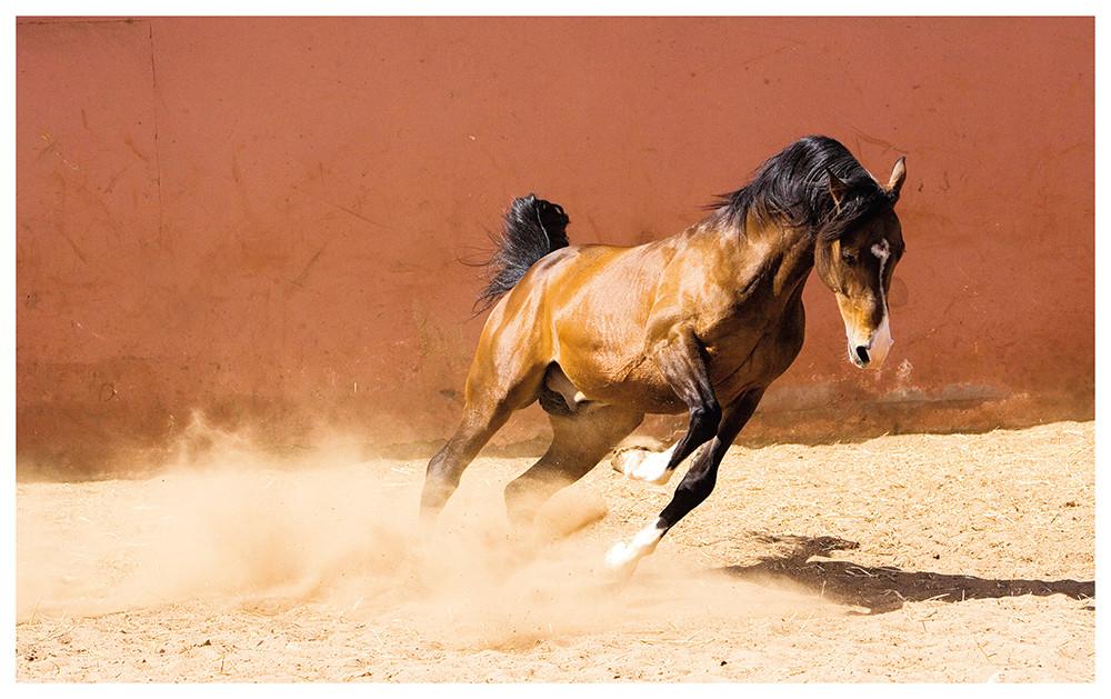 Buch - The Arabian Horses - Edition Boiselle