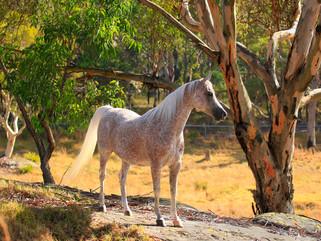 "Araberstute ""Chance to Dance"" Mulawa Arabian Stud Australien"