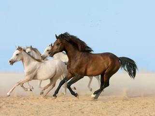 Junge Araberhengste in der Wüste, Bahrain