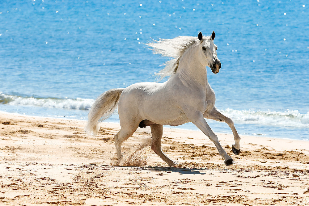 Fototipp Andalusierhengst am Strand