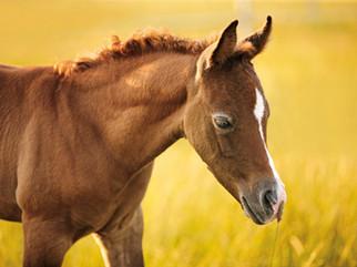 Bildergalerie Faszination Arabische Pferde