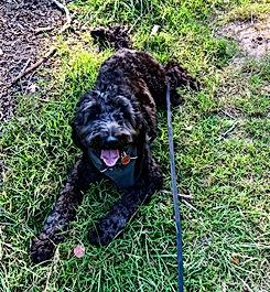 epsom paws dog training walk