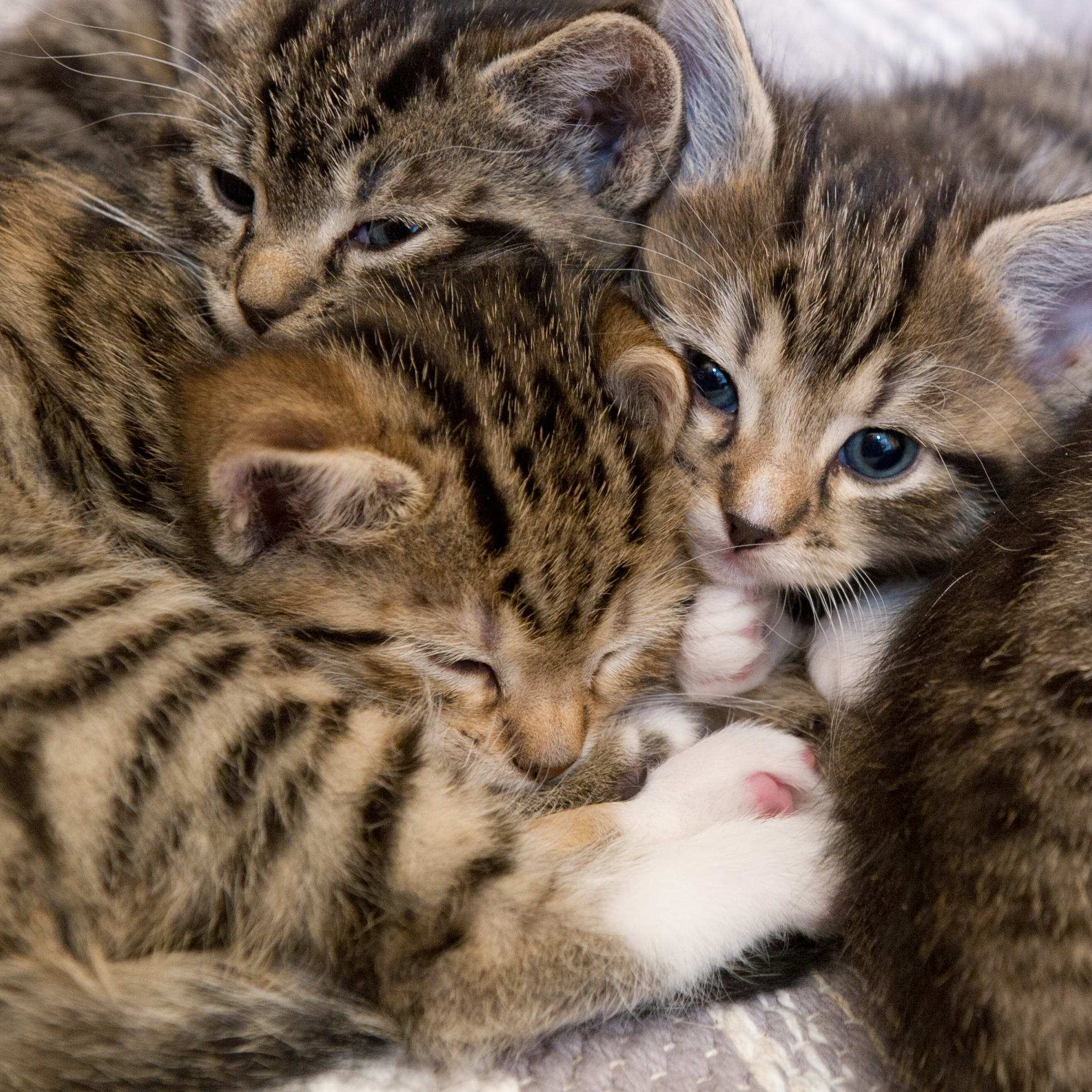 domestic kittens
