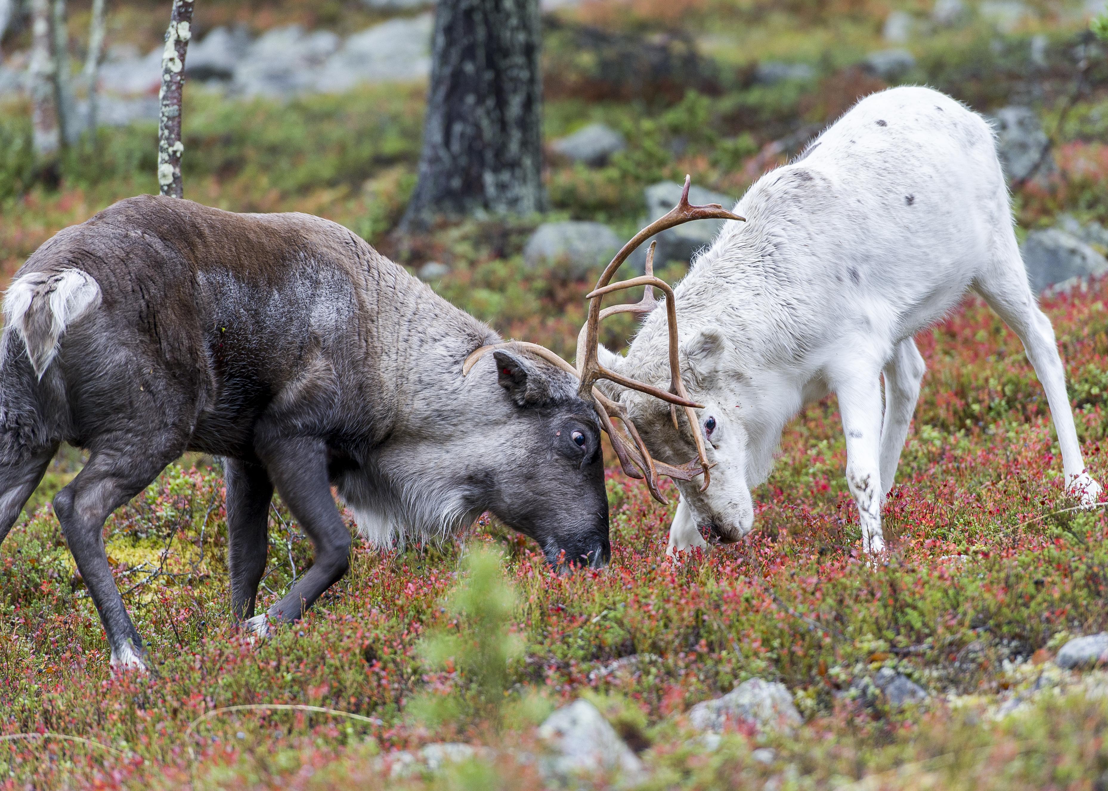 Reindeer bulls fighting-2247.jpg