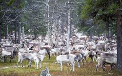 Some Reindeer