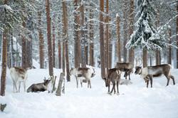 Reindeer Forest