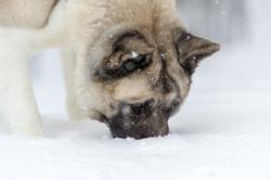 Koira nuuskii