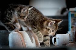 domestic kittens