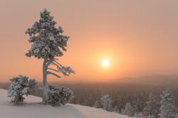 Lonely tree at Ylläs