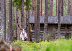reindeer looking at-5228.jpg