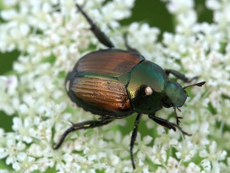 Beetles, Beetles, Beetles