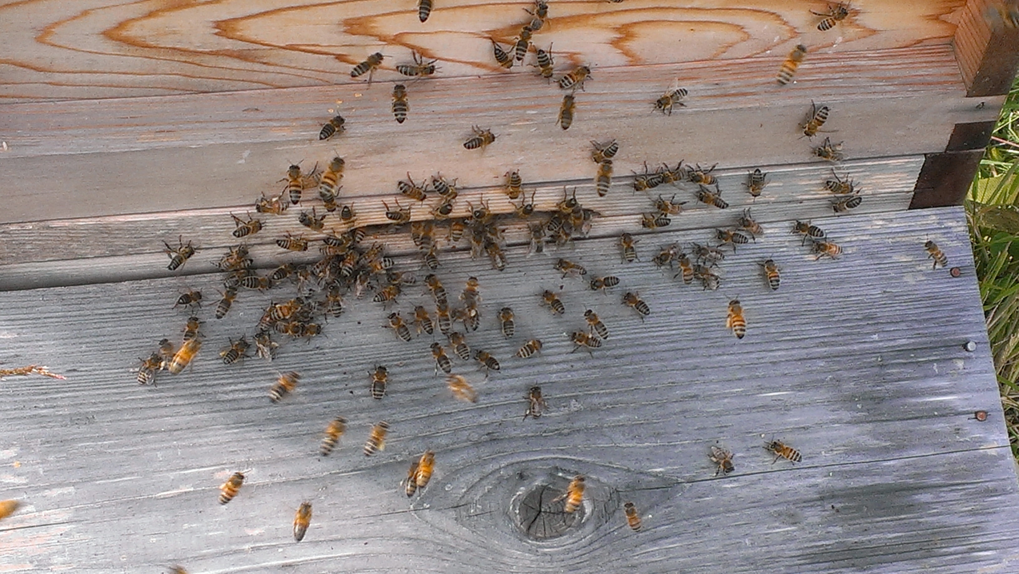 Bees at hive entrance