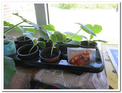Pumpkin seedlings waiting to be transplanted in Ms.Griffin's room