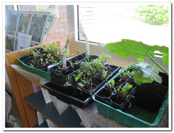 Beetroot seedlings waiting patiently to be planted in outside garden
