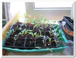 Beetroot seedlings