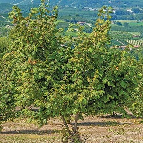 American Hazelnut - Bundle of 25 - Bareroot