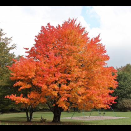 Sugar Maple - Bundle of 25 - Bare Root