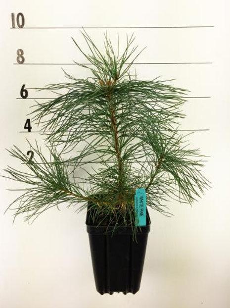 Eastern White Pine - 1 Quart