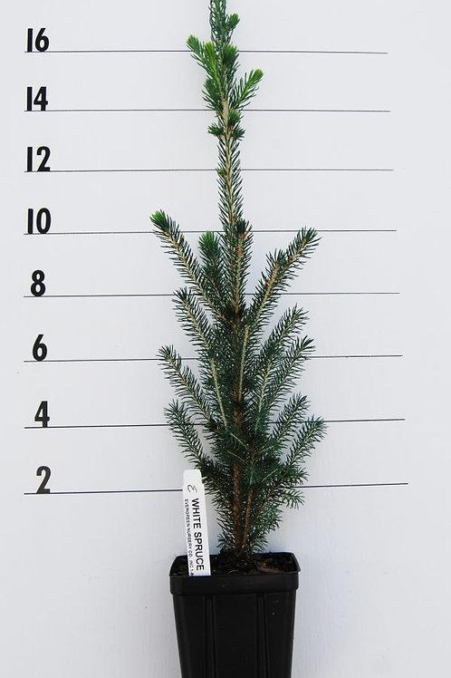 White Spruce -1 Quart
