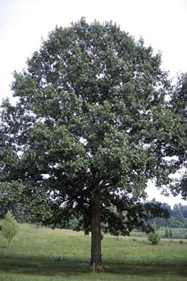 Swamp White Oak - Bundle of 25 - Bare Root