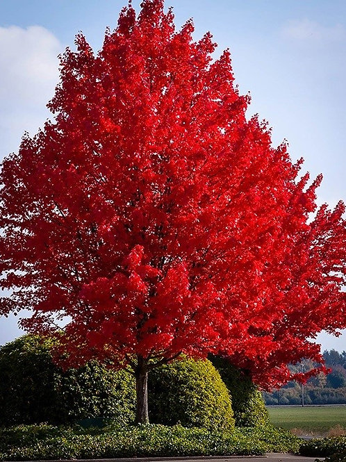 Red Maple - Bundle of 25 - Bare Root