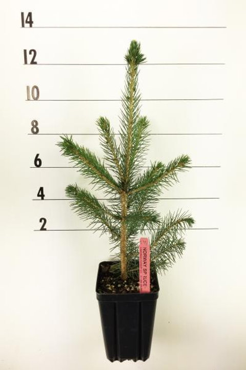 Norway Spruce -1 Quart