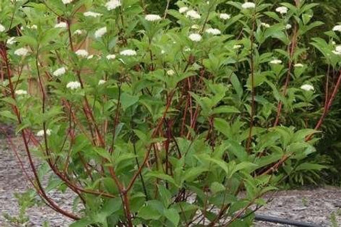 Redosier Dogwood - Bundle of 25 - Bare Root