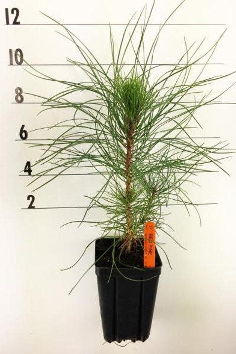 Red Pine - 1 Quart