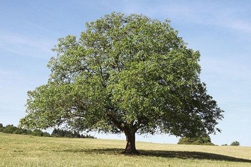 Black Walnut - Bundle of 25 - Bare Root