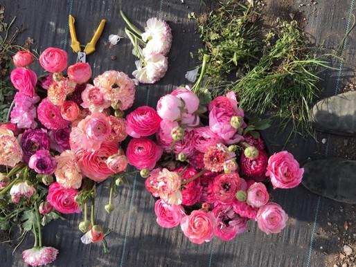 Spring Favourites - Ranunculus