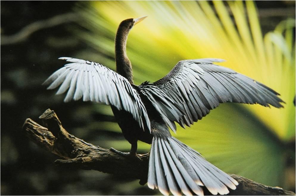 Fotografia de Araquém Alcântara mostra biguá com asas abertas sobre tronco de árvore.