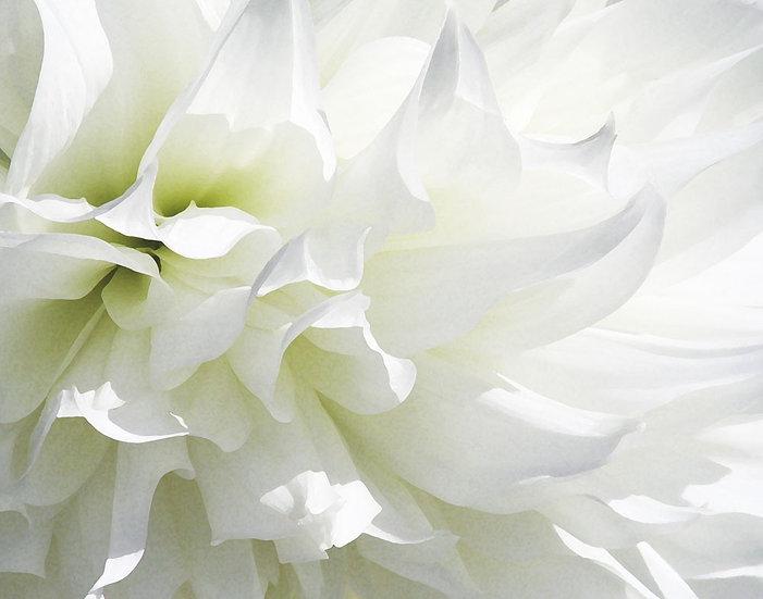 White Dahlia - Landscape Orientation