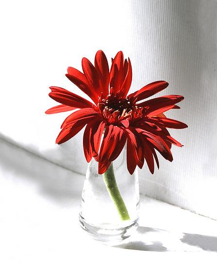 Red Gerber Daisy - Portrait Orientation