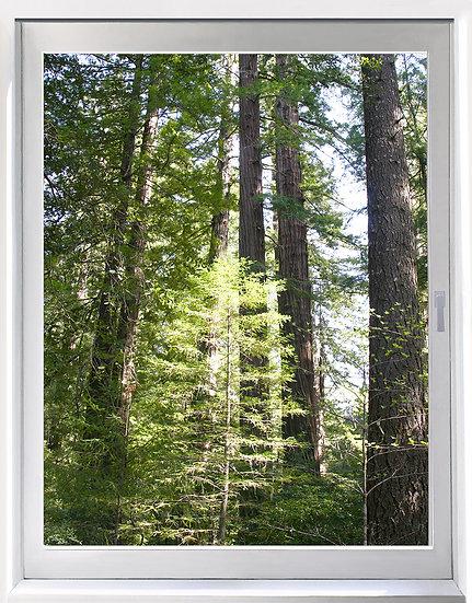 UW_Redwoods 1- Portrait Orientation