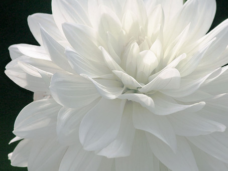 This is Isabella...a beautiful dahlia captured with natural sunlight.