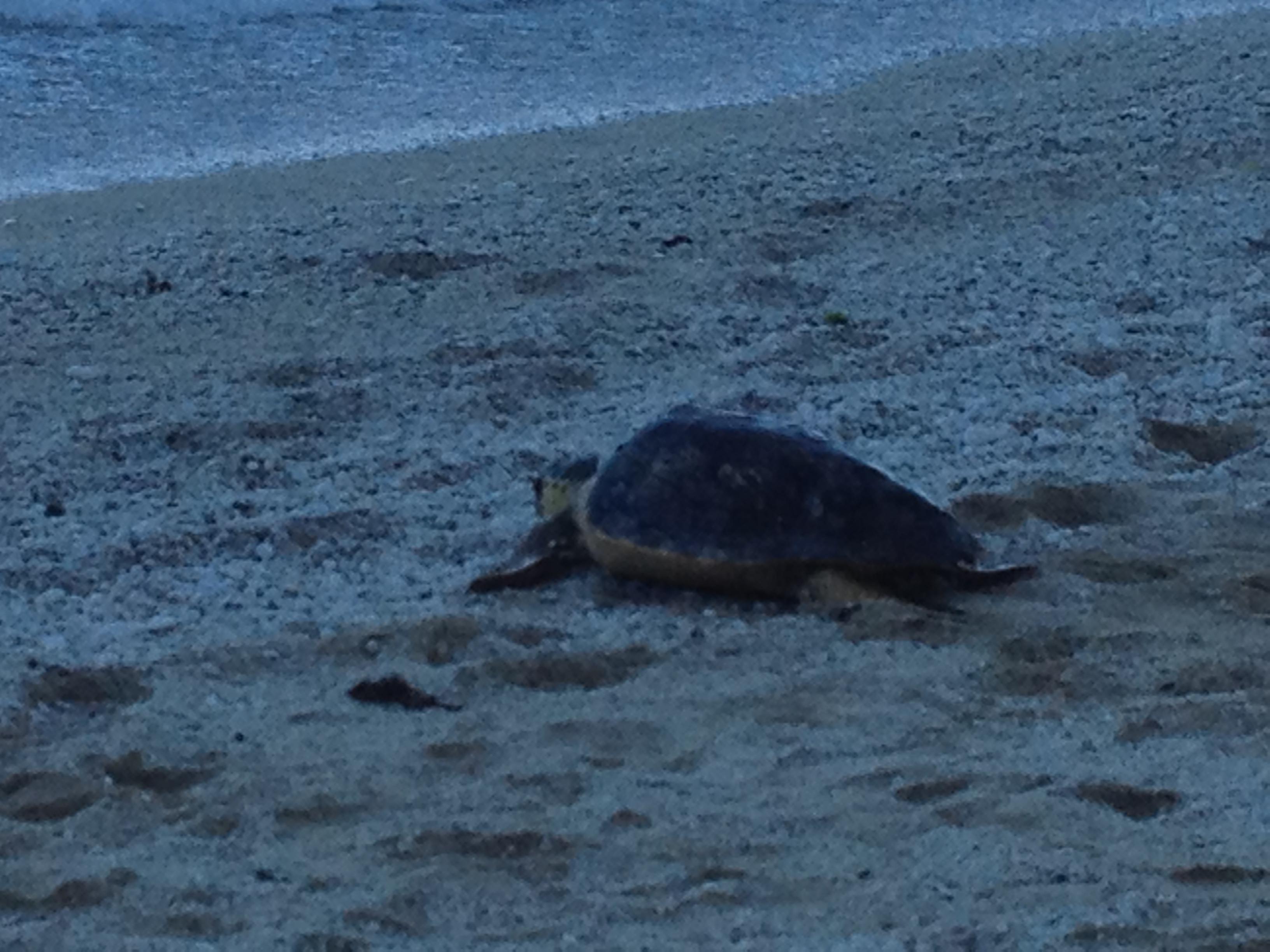 Liberazione della tartaruga marina