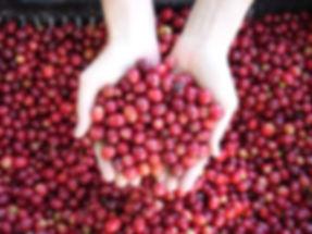 コーヒーの効果、効能、芳醇な香り、スペシャルティコーヒー、カフェインレスコーヒー、オーガニックコーヒー、日の出珈琲、Hinode Coffee、KAORU MOKA、ヘーゼルナッツ燻製、ポリフェノール、クロロゲン酸、