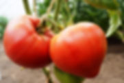 томаты теплица.jpg