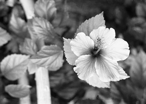 floral veins