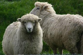 Mouton en Nouvelle-Zéla