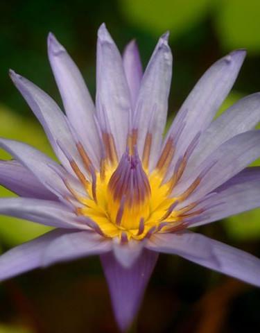 Fleur de Lotus - Thailand