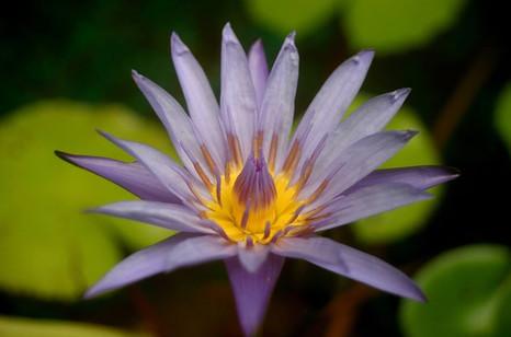 Fleur de lotus en Thailand