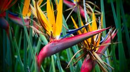 Les fleurs du paradis en Afrique du Sud