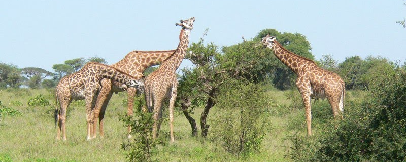 giraffe_edited